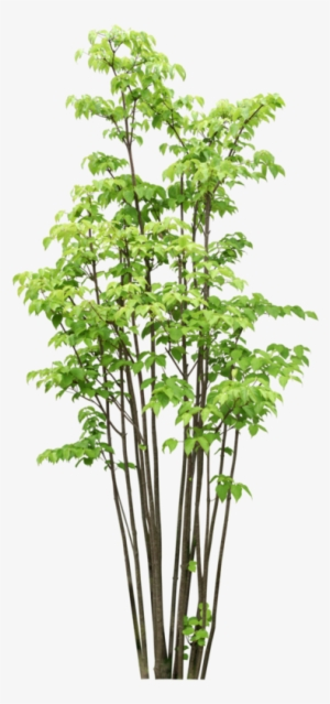 Bamboo Tree PNG & Download Transparent Bamboo Tree PNG