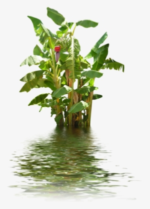 Banana Tree PNG & Download Transparent Banana Tree PNG