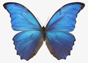 6ae67b694 Blue Butterfly PNG & Download Transparent Blue Butterfly PNG Images ...