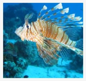 Lion Fish Clipart #1096563 - Illustration by Alex Bannykh