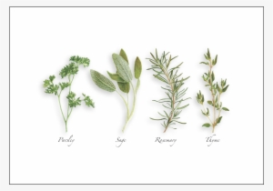 62d81e10137 Parsley, Sage, Rosemary & Thyme - Parsley Sage Rosemary And Thyme Drawing