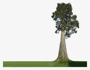 Jatropha Big Photoshop Tree Plan Png Transparent Png 423x321