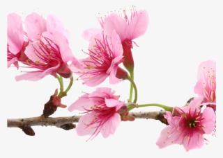 Sakura Flower PNG & Download Transparent Sakura Flower PNG Images
