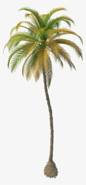 Coconut Tree Png Download Transparent Coconut Tree Png Images For
